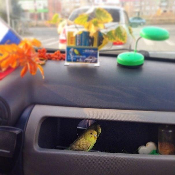 Попугай в автомобиле Галины Графовой