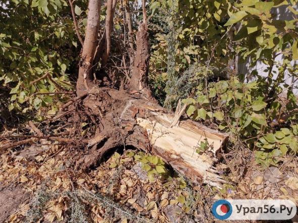 В Оренбурге сотрудник администрации Южного округа ответит за незаконный сруб только 6-ти деревьев, хотя их уничтожено более сотни