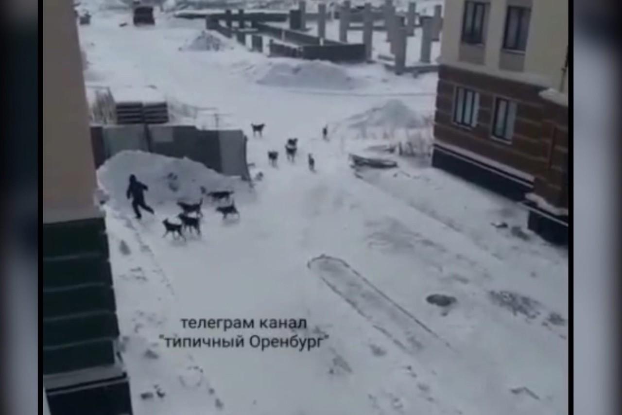 «Собака атакуют город»: В Оренбурге на мужчину напала стая из 11 собак